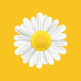 Chamomile realistic symbol. Yellow background with  chamomile. Vector illustration. Stock Image
