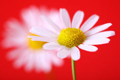 Chamomile on red Stock Photo