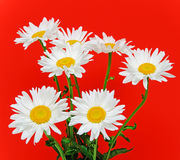 Chamomile on red background. Closeup Royalty Free Stock Image