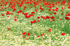 Chamomile and red poppy flower Royalty Free Stock Photography