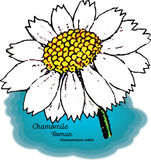 Chamomile, Roman Stock Images