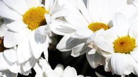 Chamomile - rumianku kwiatu bukiet, zamyka w górę widoku Obraz Stock