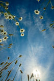 Chamomile and rye Royalty Free Stock Photos