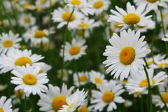 Chamomile. It's such cute flowers, the symbol of summer Royalty Free Stock Photos