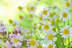 Chamomile and sage flower Stock Images