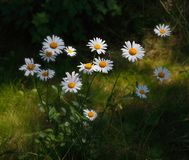 Chamomile. Saratov region. Russia. stock photography