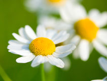 Chamomile selective focus Royalty Free Stock Photography