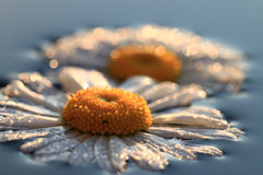 Chamomile in  shiny water drops Stock Images