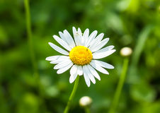 Chamomile. Single Camomile on green grass Stock Images