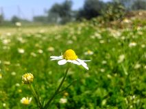 Chamomile. A single chamomile with greenery background Royalty Free Stock Image