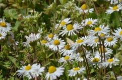 chamomile składu trawy ilustraci wiosna Fotografia Stock