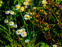 Chamomile. Small flowers in the grass Stock Photos
