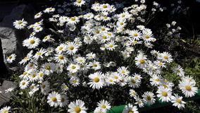 Chamomile. Spring daisies on Clube the stonesn Royalty Free Stock Photo