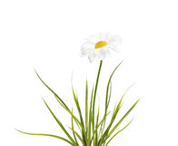 Chamomile with green grass. Chamomile with spring green grass on white background stock photo