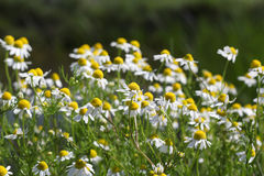 Chamomile spring scene Royalty Free Stock Photography