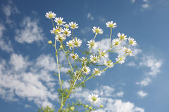 Chamomile Stock Images