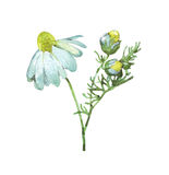 Chamomile stem on white. Watercolor illustration Stock Image