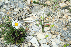 Chamomile in stones. One growing Chamomile in stones Royalty Free Stock Photos