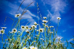 Chamomile. In summer field. Czech Republic Royalty Free Stock Images