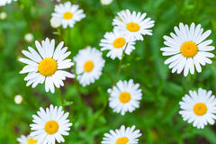 Chamomile, summer flowers background. Photo with soft selective focus Stock Photos