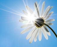 Chamomile and sun Royalty Free Stock Photography