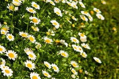 Chamomile in sunlight Royalty Free Stock Photos
