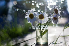 Chamomile and Sunny day. Daisies in a vase and a Sunny day Royalty Free Stock Images