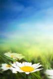 Chamomile sunny field Royalty Free Stock Image