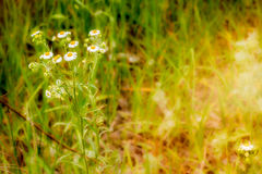 Chamomile in the Sunny Meadow Stock Photography
