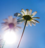 Chamomile with sunshine. Stock Images