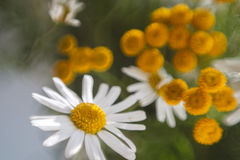 Chamomile and tansy royalty free stock photo