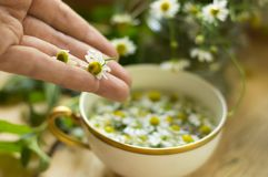 Chamomile tea. Making fresh chamomile tea with chamomile flowers and organic mint medicinal herb and health photography Royalty Free Stock Photography