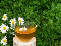 Chamomile tea in a transparent cup on birch stump against the background of chamomile foliage royalty free stock photography