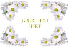 chamomile tekst Zdjęcie Royalty Free