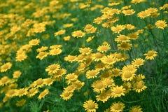 Chamomile tinctoria (Anthemis tinctoria) Royalty Free Stock Photo