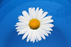 Chamomile traveler Royalty Free Stock Photography