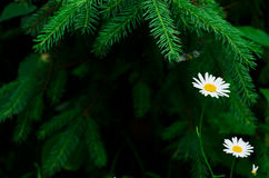 Chamomile in tree branches. Two white daisies under the green pine Stock Image