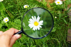 Chamomile under a magnifying-glass. In the summer on a green grass a flower under a magnifier Royalty Free Stock Image