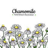 Chamomile vector drawing frame. Isolated daisy wild flower and leaves. Herbal artistic style illustration. Stock Photos
