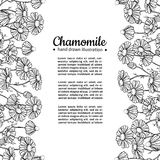 Chamomile vector drawing frame. Isolated daisy wild flower and leaves. Herbal engraved style illustration. Stock Photos