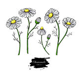 Chamomile vector drawing set. Isolated daisy wild flower and leaves. Herbal artistic style illustration. Stock Photos
