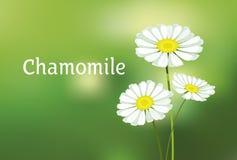 Chamomile vector illustration. Royalty Free Stock Photo