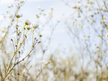 Chamomile wallpaper Stock Photo