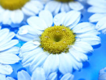 Chamomile On Water. Beautiful white flower on water royalty free stock image