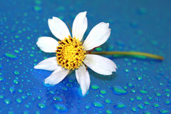 Chamomile with water drop Stock Photos
