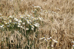 Chamomile and wheat ears. Chamomile flowers among wheat ears Royalty Free Stock Photo