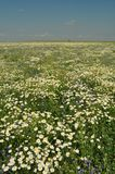 Chamomile, white flower, fresh green Royalty Free Stock Image
