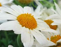 Chamomile with white loaves close up. Chamomile with white petals and yellow center close up royalty free stock photography
