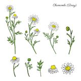 Chamomile wild field flower isolated on white background botanical hand drawn daisy sketch vector doodle illustration. For design package tea, organic cosmetic Royalty Free Stock Photography