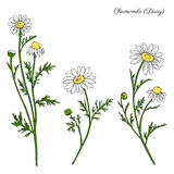 Chamomile wild field flower isolated on white background botanical hand drawn daisy sketch vector doodle illustration. For design package tea, organic cosmetic Royalty Free Stock Photo
